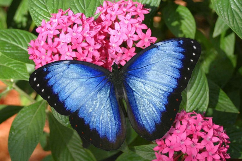 blue-morpho-1280x960