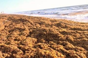 seaweed along the beach- problem in Pompano Beach, Deerfield Beach, Lauderdale By the Sea